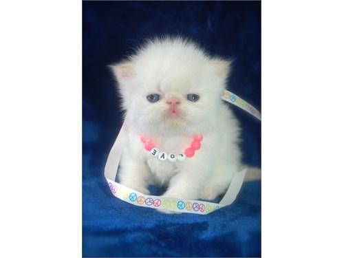 Persian Flame Pt.M Kitten