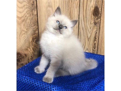 Ragdoll Kittens Ready Now