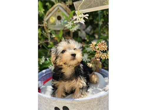 Yorkshire Terrier Mix