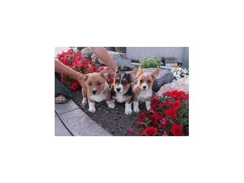 Corgi Pembroke puppies