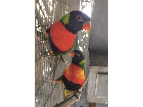 Rainbow lory pair