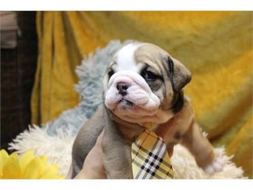 English bull dog pup