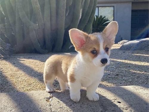 Corgi puppies 4 sale