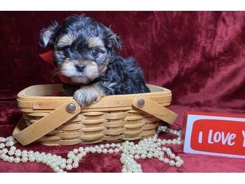 True T-Cup Yorkie Puppies