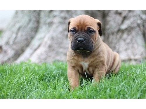 Pretty Bullmastiff pups