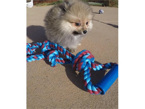 Male Pomeranian Puppy!!!