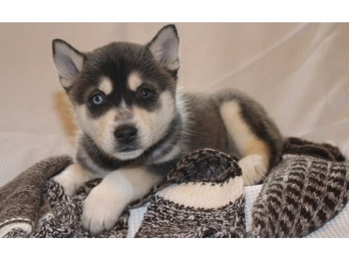 Pomsky Puppies For sal
