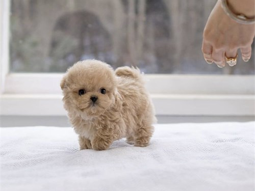 Brown sweet Maltipoo