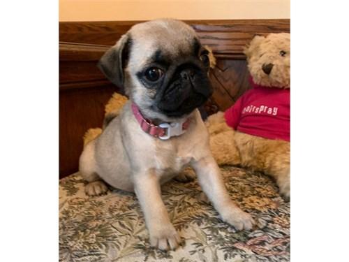 Adorable Pug pups