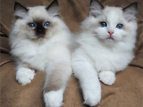 Ragdoll cats and kittens