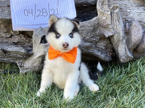 Super cute Pomsky Puppies