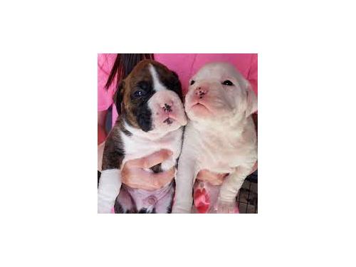 Adorable, boxer puppies