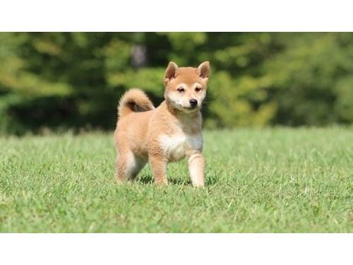 Shiba Inu pups ready