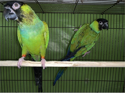 Pair of Nanday Conure