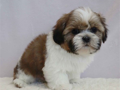 Beautiful Shih-tzu puppy