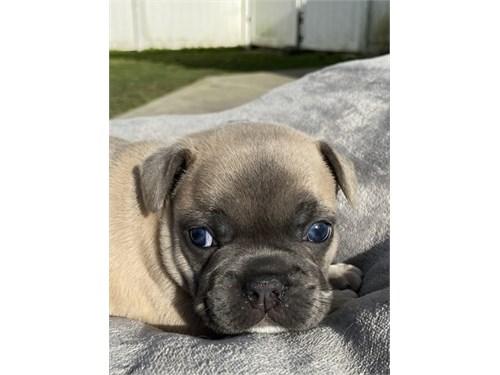 French Bulld0g pups