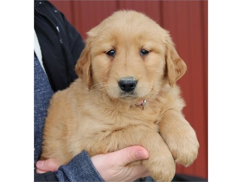 Golden Retreiver Pups