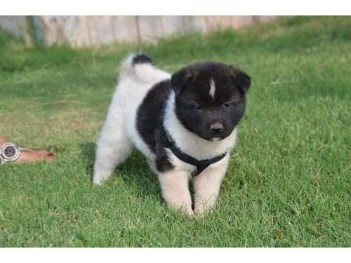 ambitious Aki-ta puppies