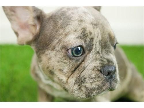 Merle French Bulldog