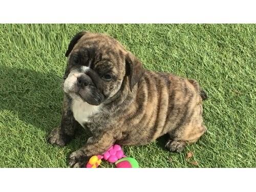 Flash English Bulldog