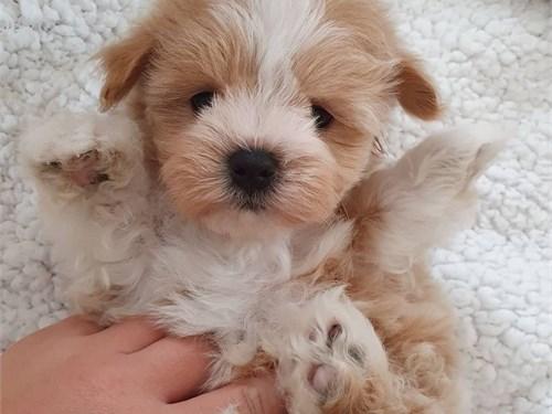 Maltipoo pup===