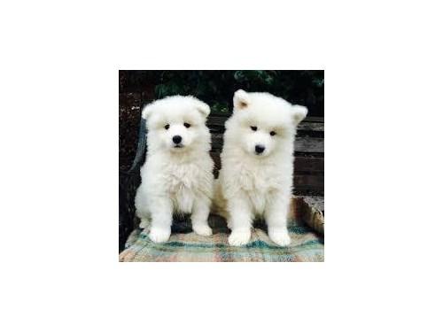 Adorable Samoyed puppies