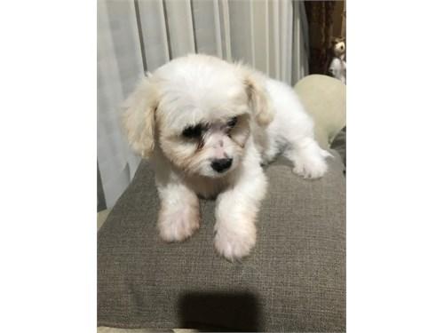Male Maltipoo puppy