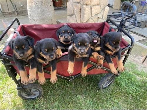 jumpy rottwler pups
