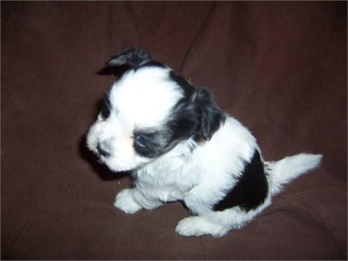 Female Havanese puppy!