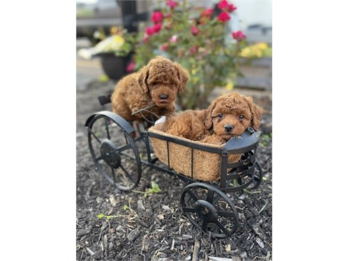 Toy Poo.dle Puppies
