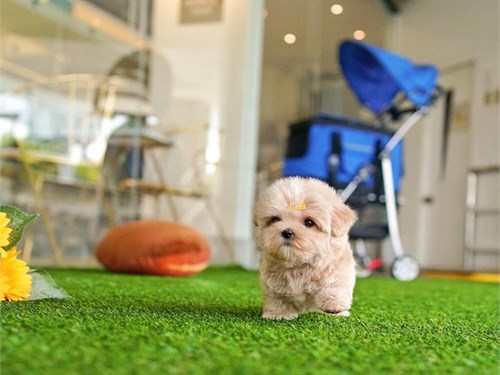 Mini Maltipoo Puppies