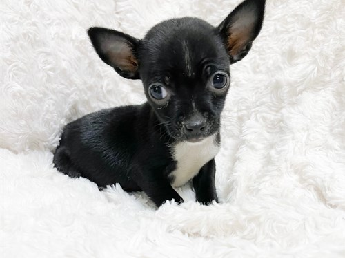 T-CUP CHIHUAHUA PUPPIES!!