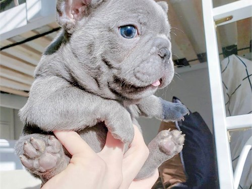 Ready Now French bulldogs