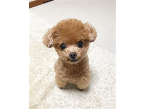 Toy poodle puppies ready