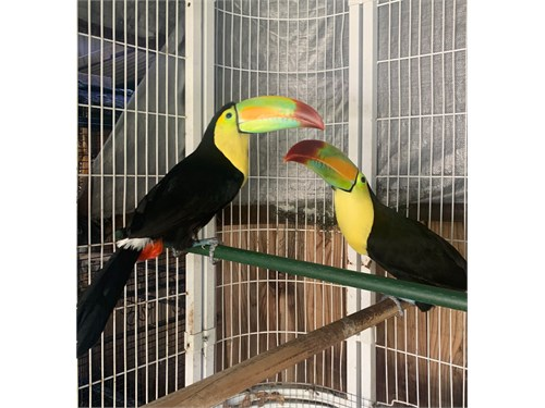 Keel billed toucan pair