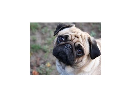 pug pupps for sale