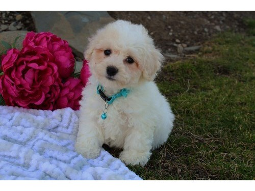 Bichon Frise Puppy Ready