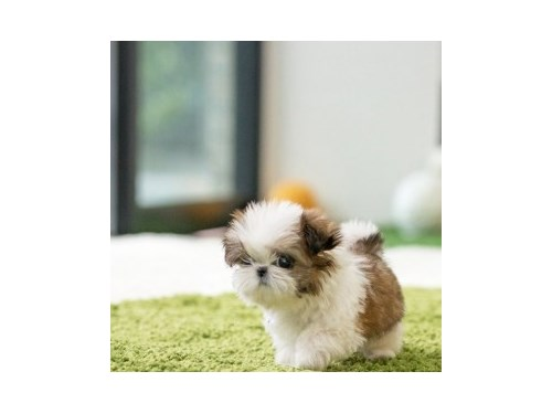Gorgeous Shih tzu puppies