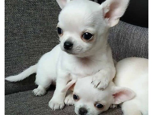 Cute Chihuahua puppies fo