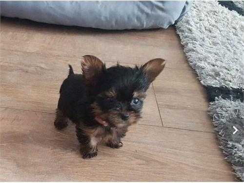 Cute T Cup Yorkie Puppies