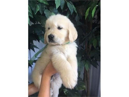 8-9 weeks golden puppies