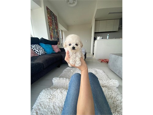 Outstanding Toy Poodle $$