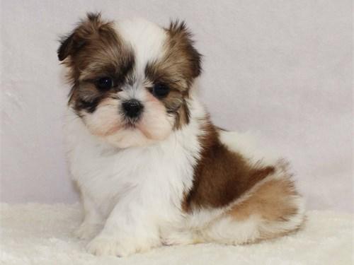 Adorable shih-tzu puppies