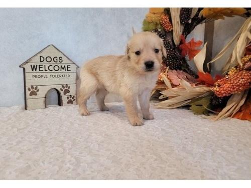 Tomy Golden Retriever pup