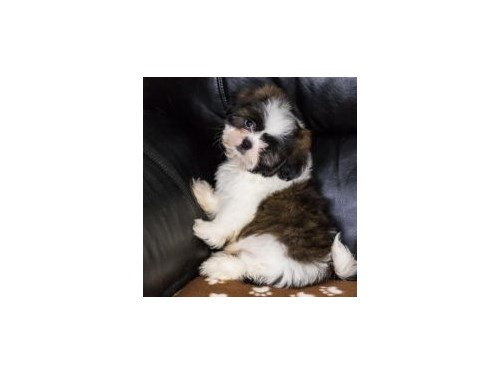 shih Tzu PUPPIES AVAILABL
