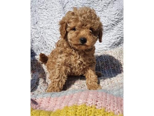 Teacuppoodle Puppy