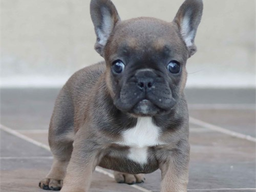 Frenchie girl for sale