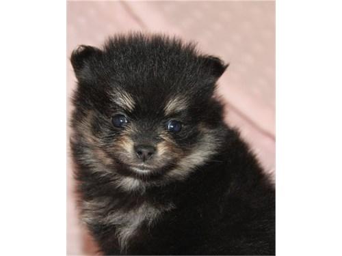 Dark pom pup