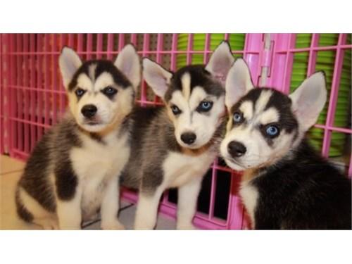 Husky pups for sale