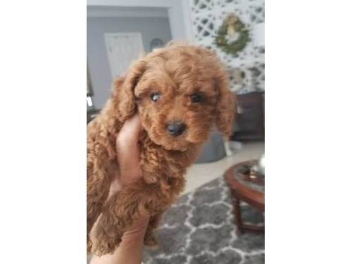 AKC tiny Red Poodle